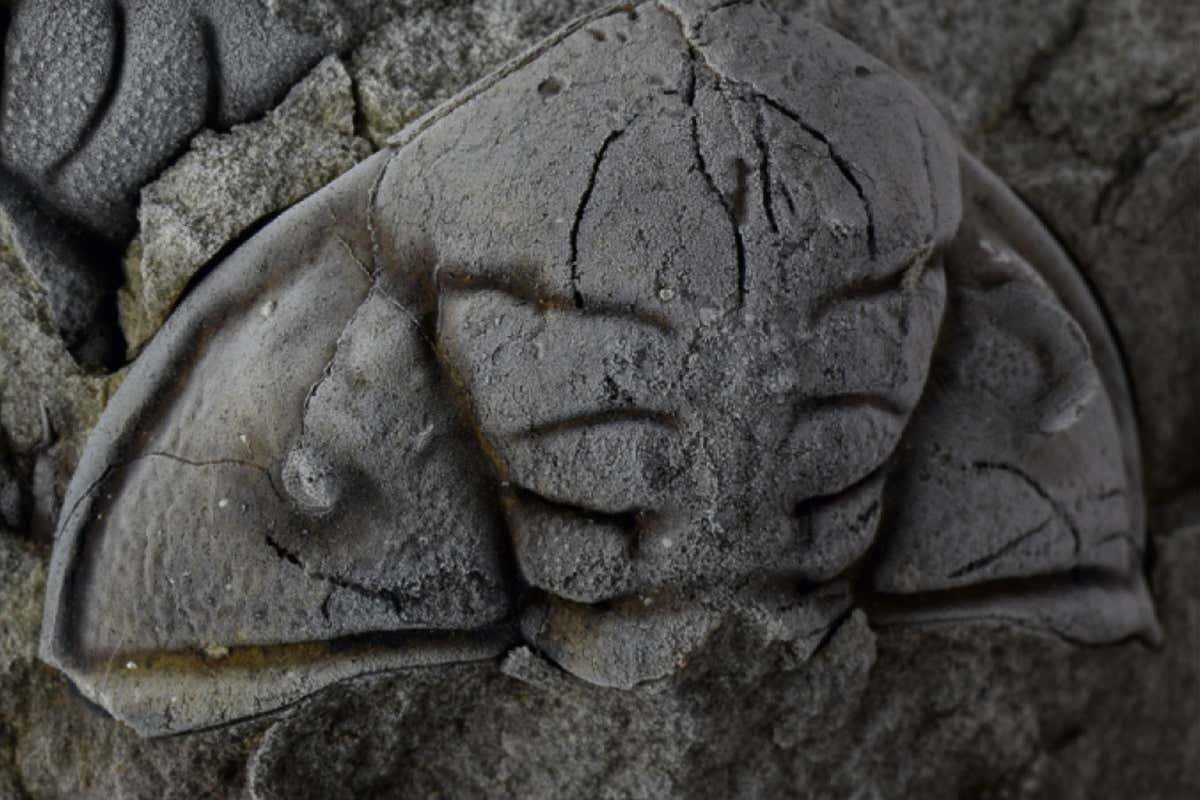 Trilobite fossil shows it was attacked by a human-sized sea scorpion