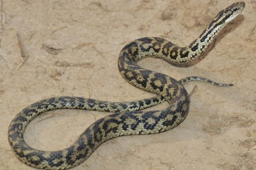 Venomous viper species from the Tibetan plateau discovered in museum