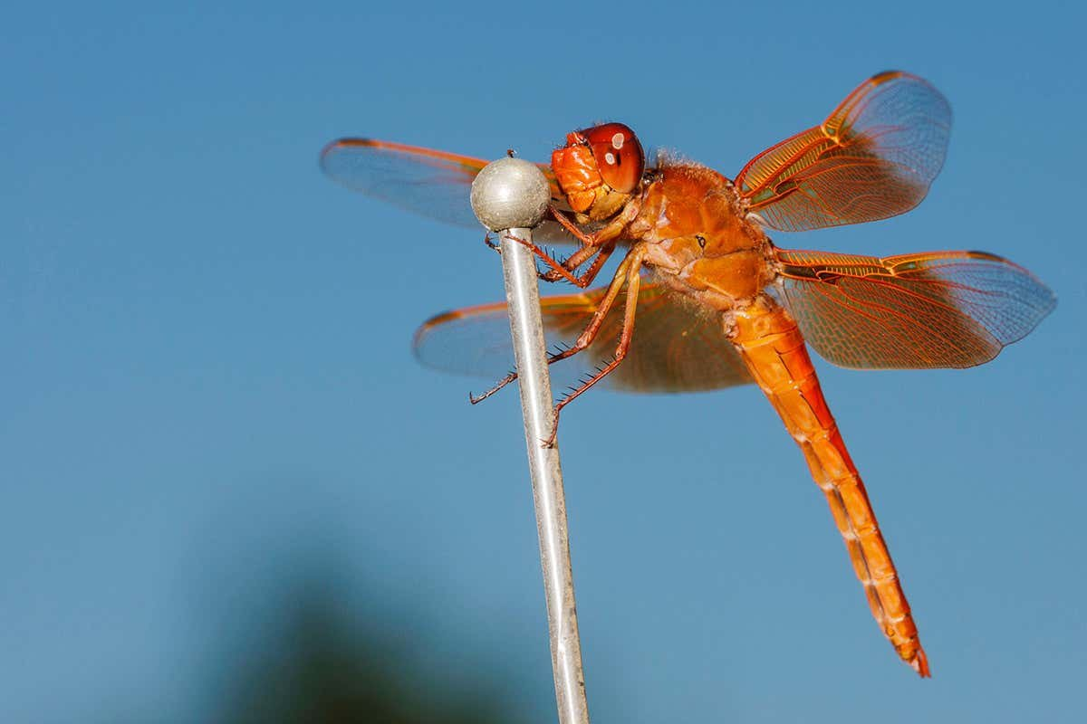 Male dragonflies may become less colourful as the climate warms