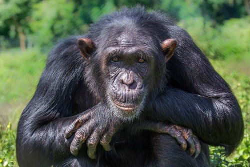 How did humans evolve from apes?