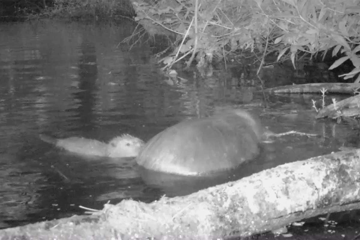 First baby beaver born in Exmoor, UK for 400 years