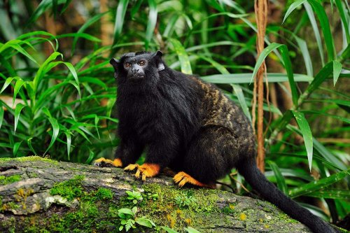 Monkeys can change their accent to communicate with another species