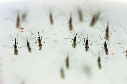 Evolution-defying DNA makes mosquitoes infertile by changing their sex