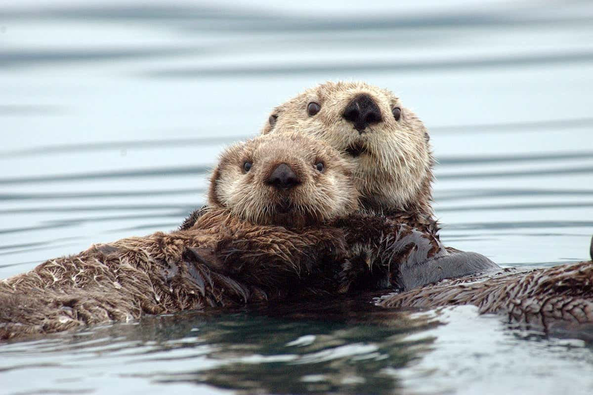 Sea otters use muscles to chemically generate heat without shivering