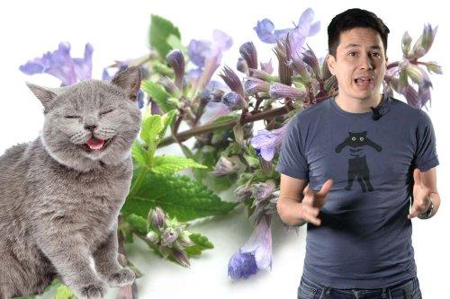 Transcript: Why do cats go crazy for catnip?