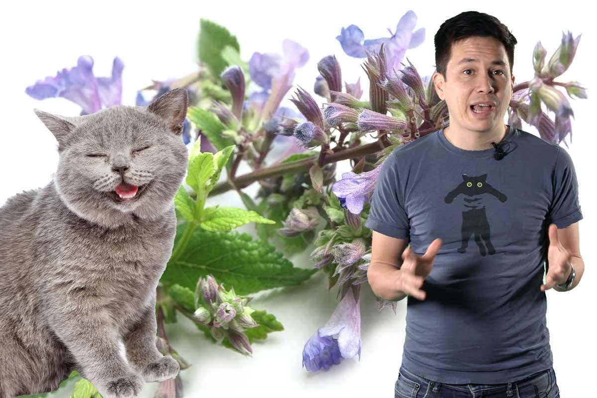 Why do cats go crazy for catnip? - cover