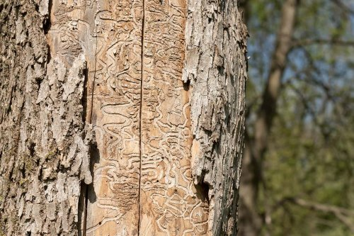 Many US cities will lose nearly all ash trees by 2060