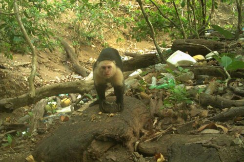 Some monkeys in Panama may have just stumbled into the Stone Age