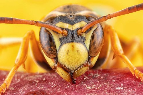 Wasps with no social life find it harder to recognise others