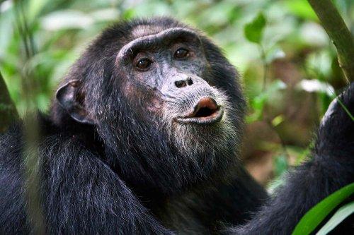 Chimpanzees seem to 'speak' in sentences of three or more calls