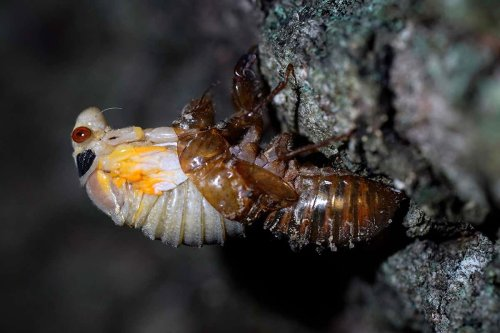 Cicadas set to emerge in once in every 17-year event