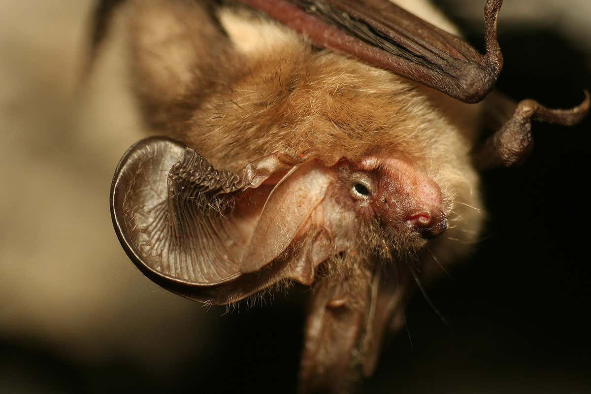 Most bats have noise-cancelling genes that may stop them going deaf