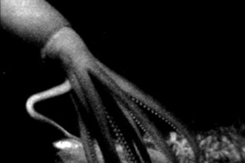 Rare video of giant squid reveals it stalks jellyfish in deep water