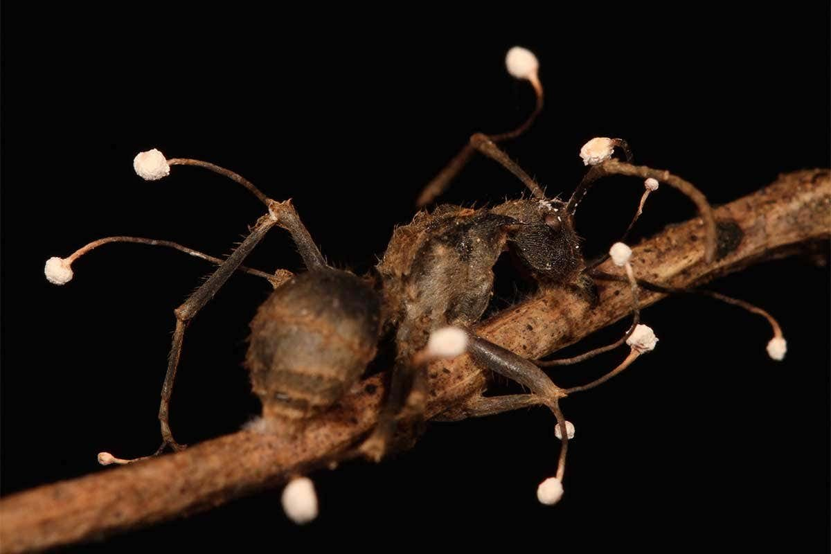 Newly-discovered fungi turn luckless ants into kamikaze zombies
