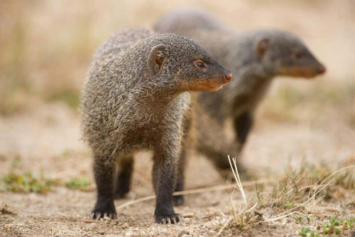 Female banded mongooses start wars so they can mate with rival males