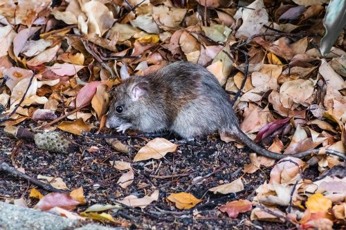 Female mice that lose a male partner are wary of taking a new one