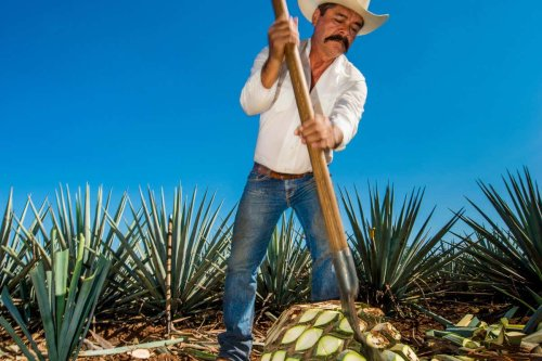 The secret power of the tequila plant that could help feed the world