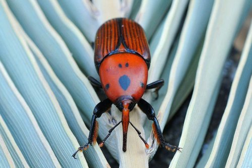 Essential oils help to stop invasive beetles from eating palm trees