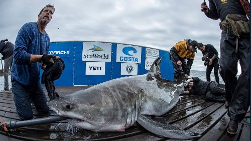 Great white sharks tracked swimming off Long Island