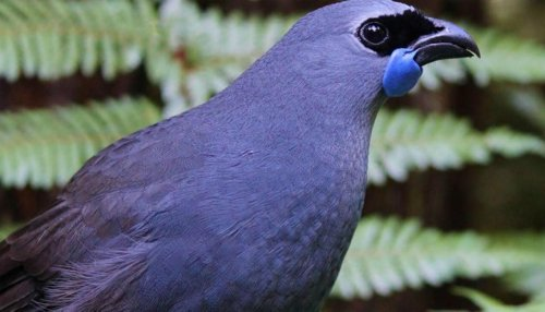 Kōkako population increasing in Pirongia Forest Park following disappearance in 1990s