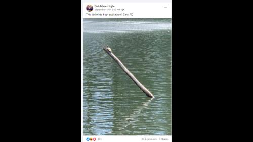 Turtle's daring stunt in North Carolina pond wins growing fan base on social media