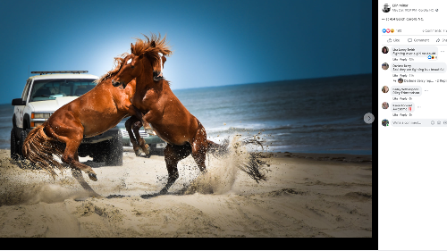 'Horses ran in front of the trucks.' Brawling stallions halt drivers on Outer Banks