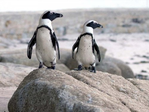 Penguin Town: the Netflix show that makes a mockery out of an endangered species