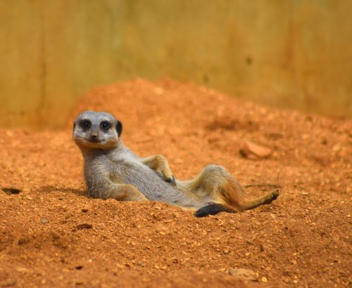 Meerkat rides tortoise while on the lookout in hilarious viral video