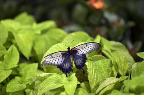 Xerces blue butterfly confirmed to be first U.S. insect to go extinct because of human activity