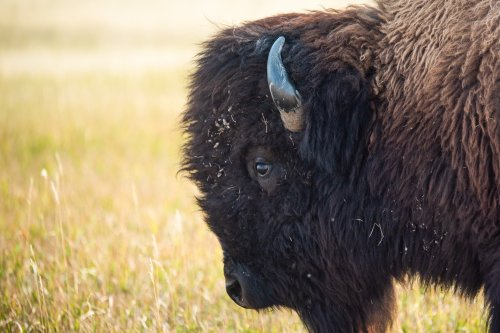 Petition started to stop Grand Canyon bison hunt after 45,000 volunteer