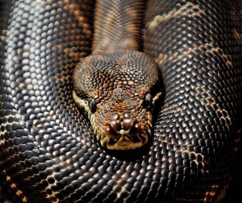 Man finds python wrapped around car engine
