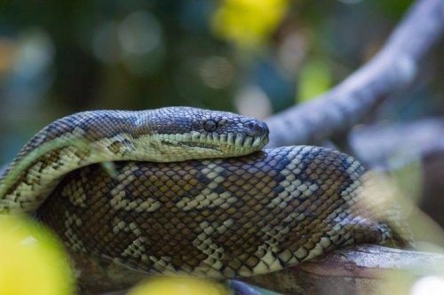 Snake catcher videos skin of huge python—but can't find missing snake