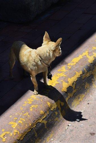 "Dog adoption post of man-hating ""demonic Chihuahua"" goes viral"
