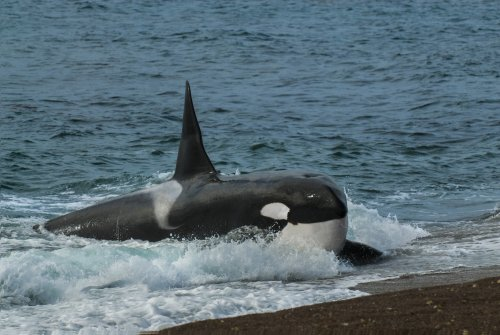 Beached killer whale's sorrowful call captured on video