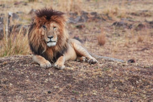 """Tributes paid to 'legendary' scarface lion dead at 14: """"A big loss"""""""
