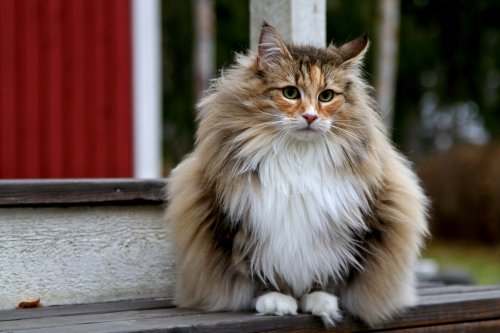 25 cat breeds with the longest life spans