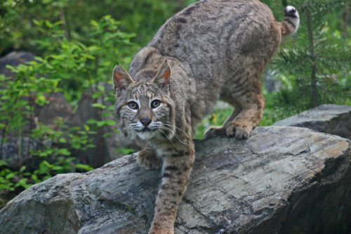Viral video appears to show man throwing bobcat after it attacks his wife
