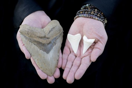Man finds tooth belonging to ancient Megalodon shark on Florida beach
