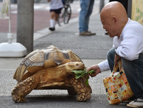 Viral TikTok shows Japanese man taking his giant African tortoise for a walk