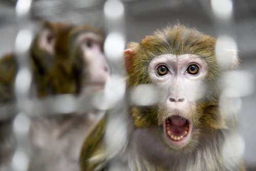 Human-monkey hybrid embryo created by joint China–U.S. scientist team