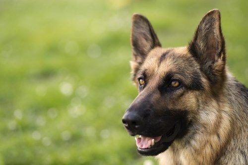 German Shepherd attacks vacuum cleaner to save owner in hilarious viral video