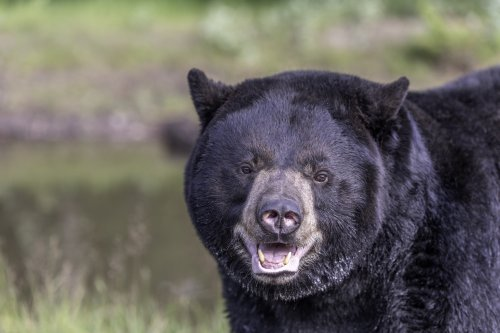 Bear spotted roaming through streets of Schenectady in New York
