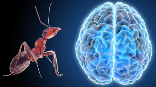 Human brains shrank 3,000 years ago—ants could tell us why