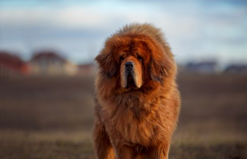 """Giant Tibetan mastiff """"as big as a bear"""" goes viral trying to get into car"""