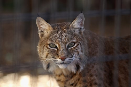 Video of man throwing bobcat after attack viewed over 5 million times