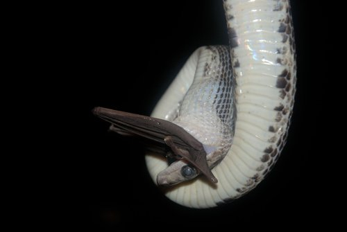 """Inside Mexico's mysterious """"bat cave"""" of blind and deaf hanging snakes"""