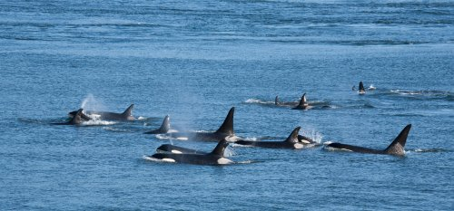 """Gang of killer whales repeatedly ram boat in """"terrifying ordeal"""" lasting two hours"""