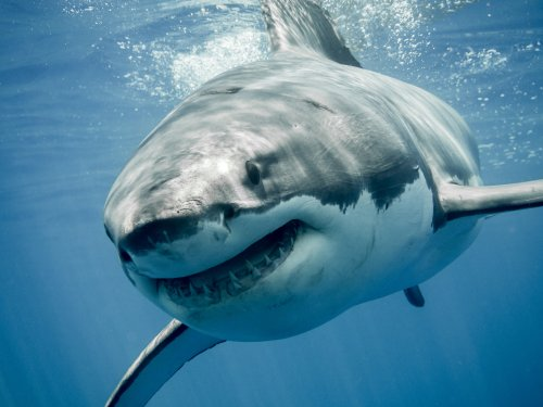 Great white sharks, dolphins have close encounter in stunning drone footage