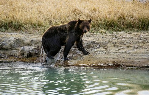 Grizzly bear mauls man at West Yellowstone campsite