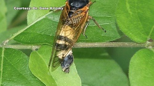 WCPO: Fungus Alters Cicada Behavior